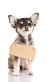Dog chihuahua isolated on white background poster billboard. Chihuahua isolated on white background wanted funny and lovely  pet concept for design Stock Images