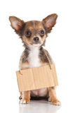 Dog chihuahua isolated on white background shield board for disign Royalty Free Stock Photo