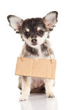Dog chihuahua isolated on white background sign Stock Images