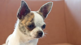 Dog chihuahua looking around stock video footage