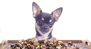 Dog Chihuahua Make An Effort To Eat Royalty Free Stock Photo