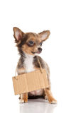 Dog chihuahua pet with announcement isolated on white background Royalty Free Stock Image