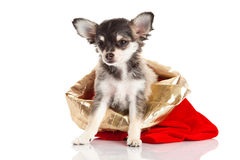 Dog chihuahua pet gift  isolated on white background Stock Photos