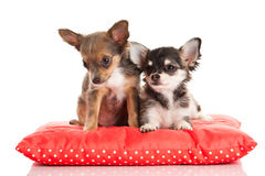 Dog chihuahua on pillow isolated on white background with love Royalty Free Stock Images