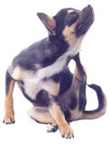Dog chihuahua puppy scratching Stock Image