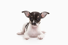 Dog. Chihuahua puppy on white background Stock Image