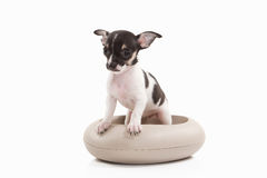 Dog. Chihuahua puppy on white background Stock Photography