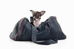 Dog. Chihuahua puppy on white background Royalty Free Stock Photography