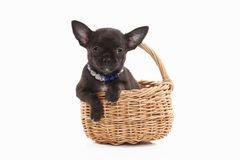 Dog. Chihuahua puppy on white background Royalty Free Stock Photos