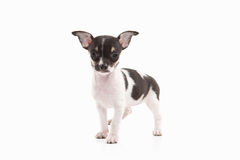 Dog. Chihuahua puppy on white background Royalty Free Stock Image