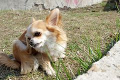 Dog Chihuahua is scratching on the green grass in the first days of spring. Dog with a parasite strap - fleas, ticks and others. C. Hihuahua dog scratch with paw royalty free stock images