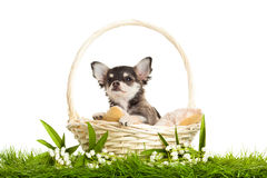 Dog chihuahua sitting in basket isolated on white background flowers Stock Photography