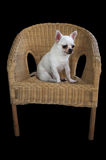 Dog chihuahua sitting on weaving rattan chair royalty free stock photography