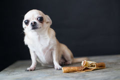 Dog Chihuahua Royalty Free Stock Images