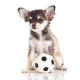 Dog chihuahuaen med footbaal fotboll som isoleras på vit bakgrund Royaltyfri Bild