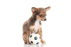 Dog chihuahuaen med fotboll som isoleras på vit bakgrundsfotboll Royaltyfria Bilder