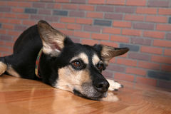Dog with chin resting on floor looking depressed. Big dog resting chin on wood floor Royalty Free Stock Photo