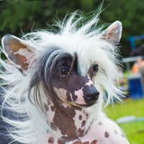 Dog Chinese Crested breed smiles Royalty Free Stock Image