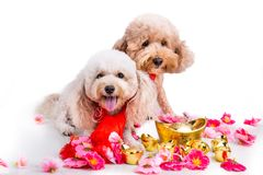 Dog in Chinese New Year festive setting in white background. 2018 is year of the dog in Chinese lunar zodiac calendar royalty free stock images