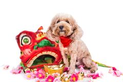Dog in Chinese New Year festive setting in white background. 2018 is year of the dog in Chinese lunar zodiac calendar stock photo