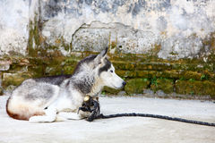 Dog in chinese village Royalty Free Stock Images