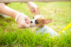 Dog Chiwawa puppy. Dog in field. chiwawa retriever puppy in field. Puppy lovely. Male dog in park Stock Photo