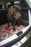 labrador traveling in the trunk of a car stock image