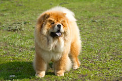 Dog chow chow Royalty Free Stock Image