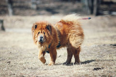 Dog chow-chow on walk Royalty Free Stock Photo