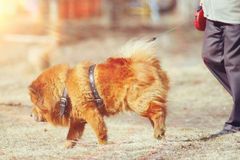Dog chow-chow on walk Royalty Free Stock Images