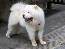 Dog Chow Chow white color. Royalty Free Stock Photos