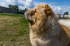 Dog chow-chow close-up, side profile. royalty free stock photo