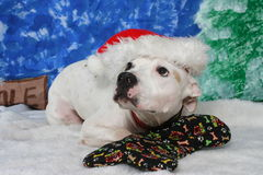 Dog at Christmas. A white dog on a bed wearing a Santa cap Stock Photography