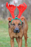 Dog with Christmas antlers. Portrait of Rhodesian ridgeback dog with red Christmas antlers Royalty Free Stock Photo