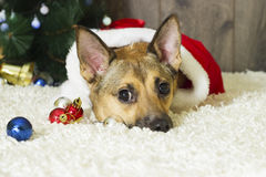 Dog in Christmas atmosphere Royalty Free Stock Images