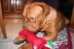 Dog with christmas bone. Dogue de bordeaux with red bone Stock Photos