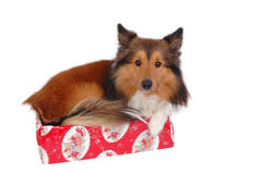 Dog in a christmas box Stock Images