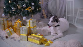 Dog in the christmas decoration of the interior. Pet lies near christmas tree in living room. HD stock video