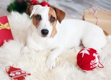 Dog at christmas decoration royalty free stock photos