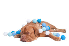 Dog in Christmas Decorations Royalty Free Stock Photos