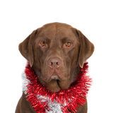 Dog with Christmas garlands Stock Photography