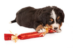 Dog with christmas gift Stock Photos