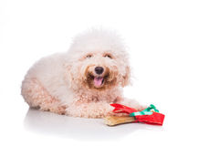 Dog with Christmas gift bone wrapped in ribbon Stock Photos