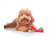 Dog with Christmas gift bone wrapped in ribbon Stock Photography