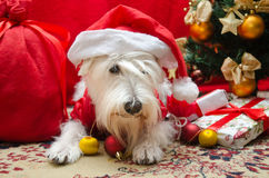 Dog with Christmas gifts Stock Photo