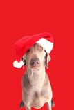 A dog  with christmas hat 3 Stock Images