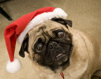 Dog with Christmas Hat. Pug Wearing Santa Hat for Christmas Royalty Free Stock Photography