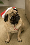 Dog with Christmas Hat. Pug Wearing Santa Hat for Christmas Royalty Free Stock Images
