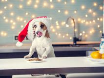 Dog in christmas hat eating food stock photos