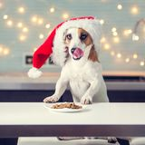 Dog in christmas hat eating food royalty free stock photo